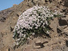 Thymus pubescens (Iran, Qazvin, Sendan mountains, near Gilavan, W of Sefid Rud Reservoir (40)