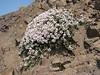 Thymus pubescens (Iran, Qazvin, Sendan mountains, near Gilavan, W of Sefid Rud Reservoir (40)