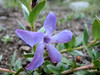 Vinca herbacea (Iran, Azarbayjan-e-Gharqi, mountains near the Kalan pass 2100m, 30km N of Kalibar (15)