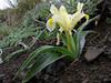 Iris pseudocaucasica (Iran, Azarbayjan-e-Gharqi, mountains near the Kalan pass 2100m, 30km N of Kalibar (15)