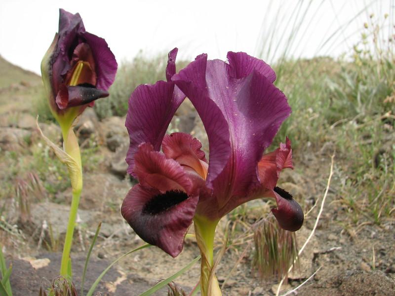 Iris barnumae (Iran, Azarbayjan-e-Gharqi, mountains near  border of Orumieh saltlake, 8km S of Ag Gonbad 1410m)(21)