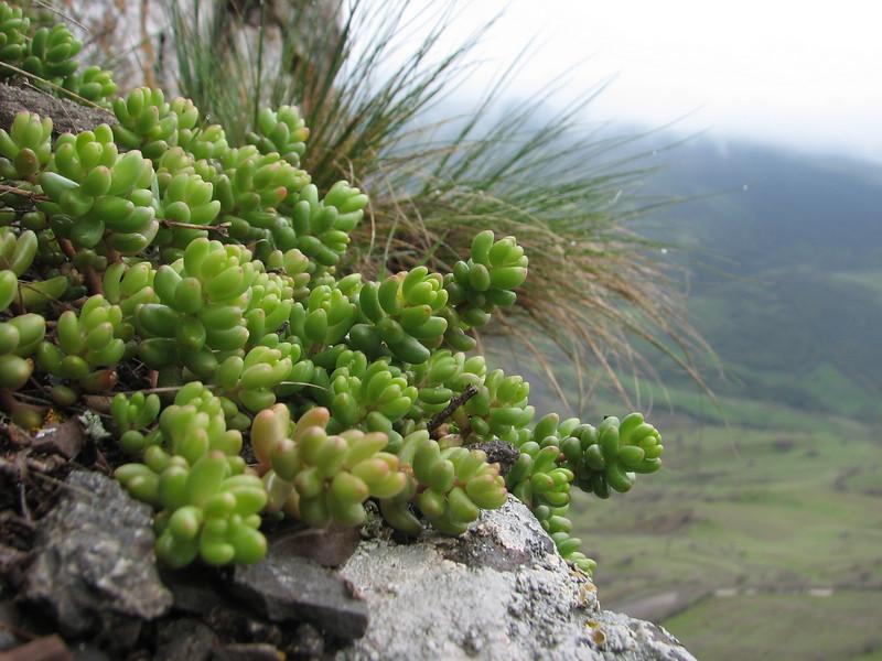Sedum caespitosum (Iran, Azarbayjan-e-Gharqi, mountains near the Kalan pass 2100m, 30km N of Kalibar (15)