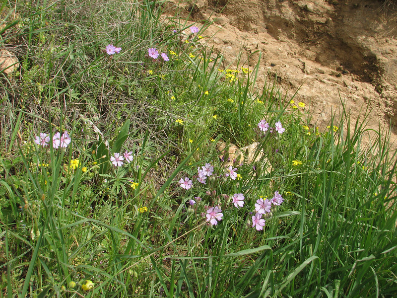 Geranium spec. (Iran, Azarbayjan-e-Gharbi, pass 2300m Ziveh-Kaveh near border Turkey - Iraq)(23)