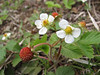 Fragaria vesca, Iran, Gilan, Elburz mountains, SE of Masuleh (5)