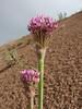 Allium noëanum