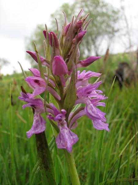 Dactylorhiza umbrosa (Iran, Kurdistan, near Choplu 1700m (31)