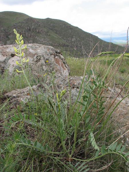 Astragalus spec. (Iran, Ardabil, mountains between Khalkhal and Kivi (8)