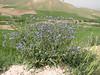 Anchusa spec. (cf A. italica)(Iran, Azarbayjan-e-Gharbi, 5km SW of Shahin Dezh 1700-1800m (29)