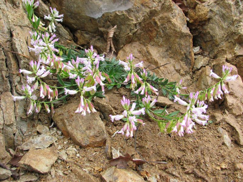 Polygala spec. (Iran,Gilan, Elburz mountains, above Masuleh near Fuman 2300m (4)