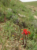 Diphelypaea boissieri (syn. Phelypaea boissieri) parasitic on Tanacetum spec.<br /> (Iran, Azarbayjan-e-Gharbi, 5km SW of Shahin Dezh 1700-1800m (29)