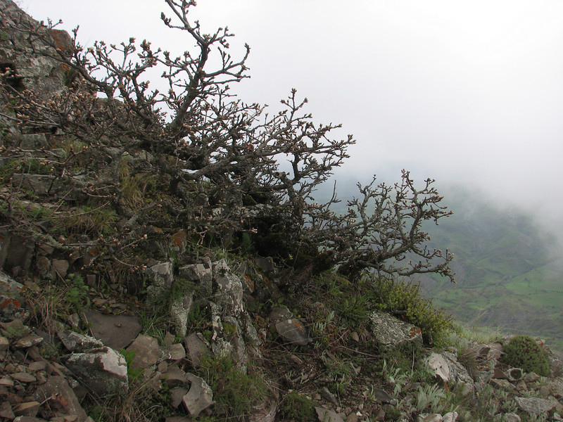 Quercus spec. (Iran, Azarbayjan-e-Gharqi, mountains near the Kalan pass 2100m, 30km N of Kalibar (15)