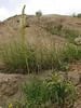 Eremurus spectabilis (Iran, Azarbayjan-e-Gharbi, pass near Khalifen 2150m, near reservoir Mahabad (27)