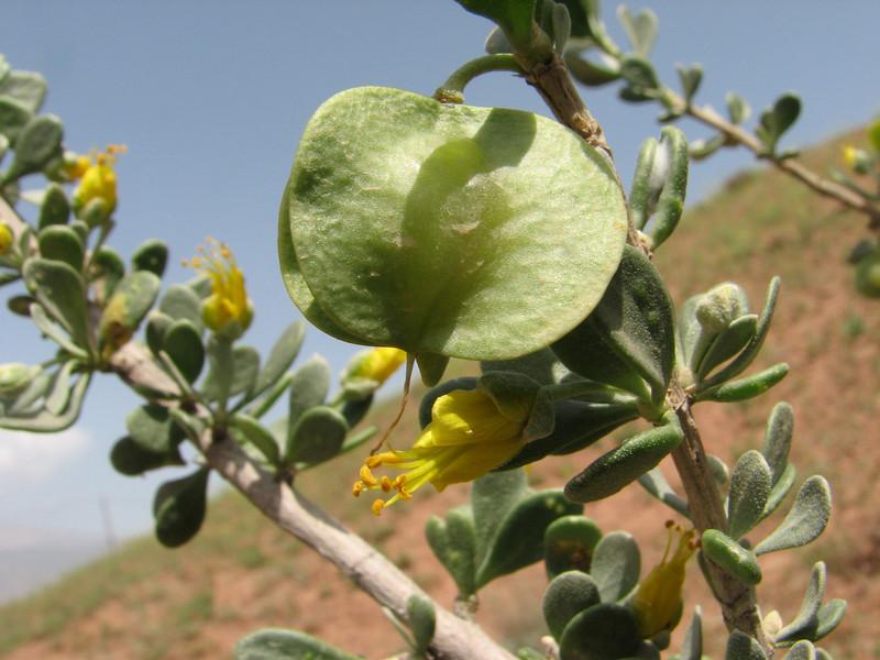 Zygophyllum megacarpum (Iran, Qazvin, Sendan mountains, near Gilavan, W of Sefid Rud Reservoir (40)