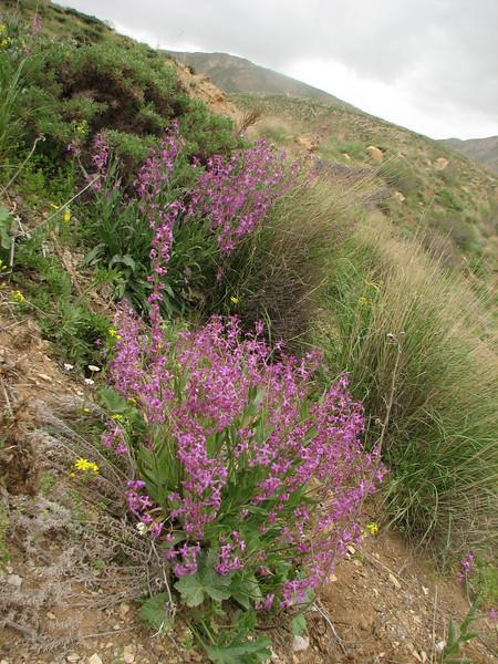 Hesperis persica (Iran, Azarbayjan-e-Gharbi, pass near Khalifen 2150m, near reservoir Mahabad (27)