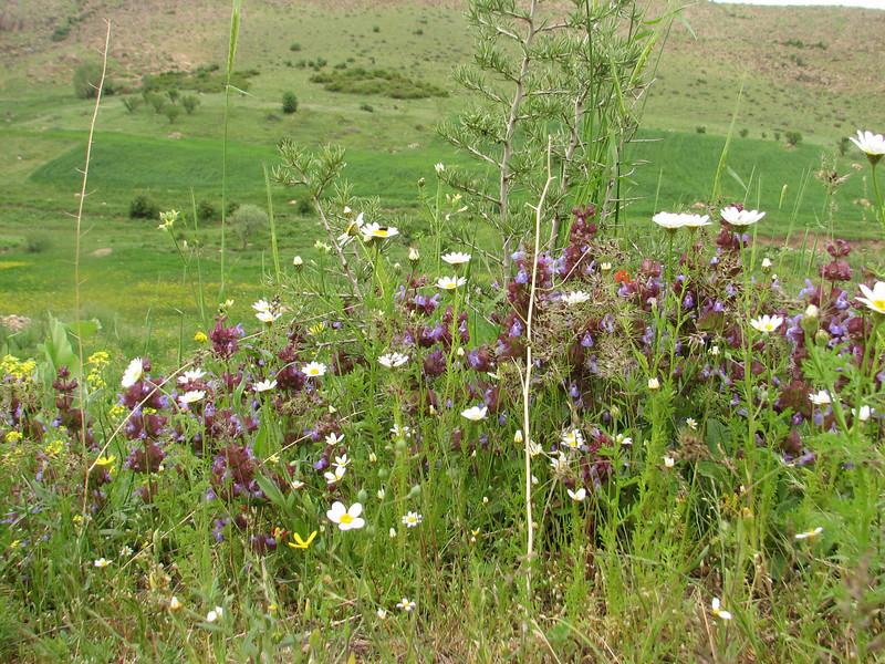 Salvia multicaulis (Iran, Azarbayjan-e-Gharbi, near Kani Bagh 2600m, 30 km NE of Piranshahr (26)