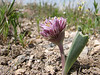 Allium derderianum (Iran, Azarbayjan-e-Gharqi, Sahand mountains near Kandovan)