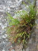 Asplenium septentrionale (Iran, Azarbayjan-e-Gharqi, mountains near the Kalan pass 2100m, 30km N of Kalibar (15)