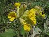 Primula macrocalyx (Iran, Gilan, Elburz mountains, pass, SE of Masuleh 2200m) (6)
