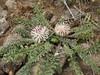 Centaurea ispahanica (Iran, Azarbayjan-e-Gharqi, mountains near border of Orumieh saltlake, 8km S of Ag Gonbad 1410m)(21)