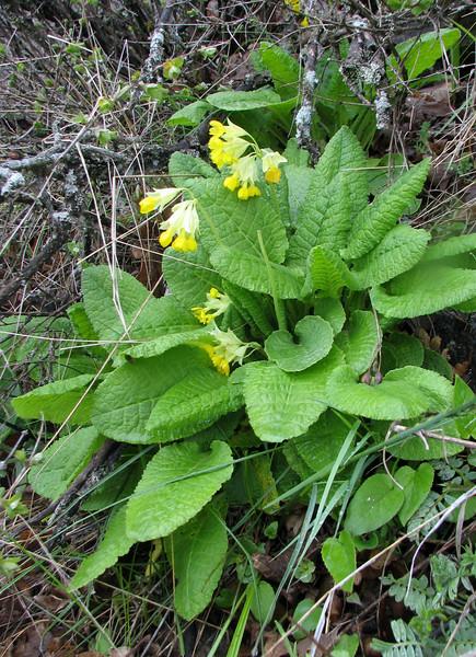 Primula macrocalyx (Iran, Azarbayjan-e-Gharqi, mountains near the Kalan pass 2100m, 30km N of Kalibar (15)