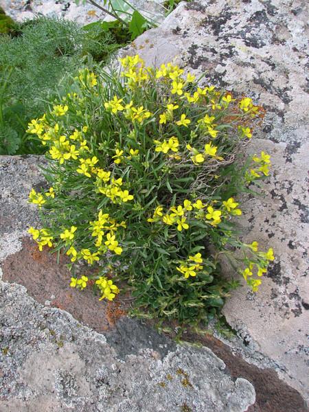 Alyssum cf. armenum (Iran, Azarbayjan-e-Gharqi, mountains NW of Kharvanaq (19)