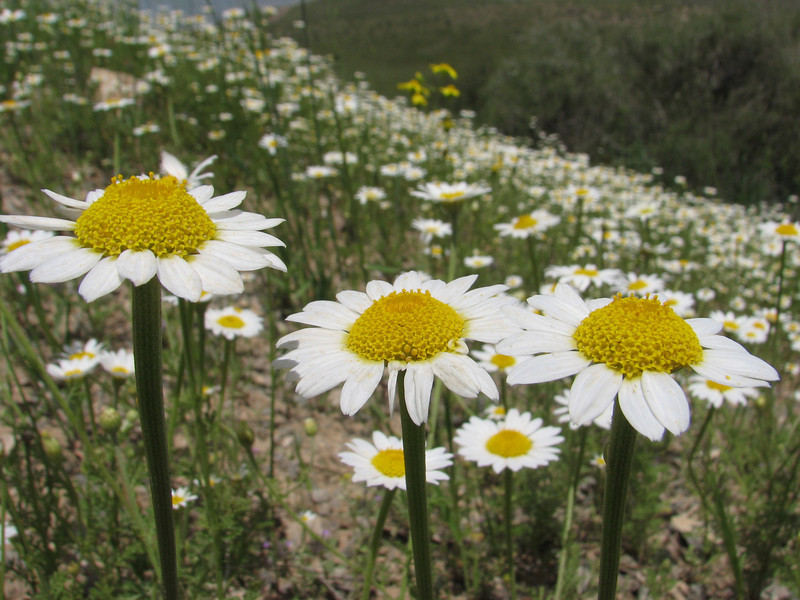Tripleurospermum spec. (Iran, Zanjan, Sendan mountains, pass 2200m near Khanchay, 30km NE of Bonab (38)