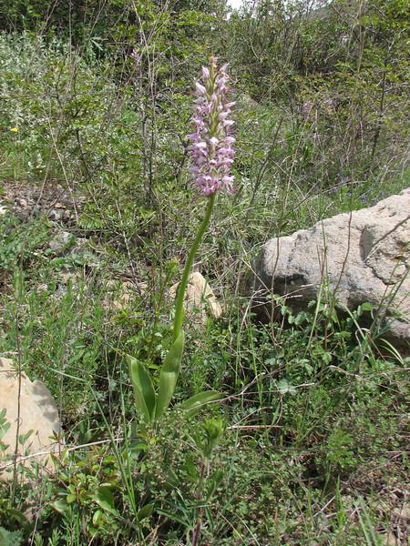 Orchis simia (Iran, Azarbayjan-e-Gharqi, mountains NW of Kharvanaq (19)