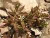 Sedum cf. pallidum (Iran, Azarbayjan-e-Gharbi, 5km SW of Shahin Dezh 1700-1800m (29)