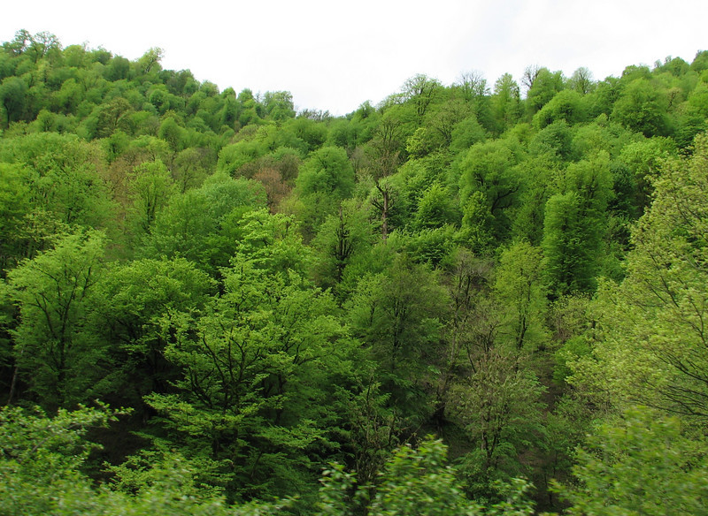 Masuleh, light green spring-forest  (Iran, Gilan, Tales mountains)