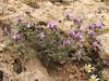 Astragalus cf. lydius (Iran, Azarbayjan-e-Gharbi, 5km SW of Shahin Dezh 1700-1800m (29)
