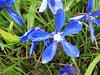 Gentiana verna ssp. pontica (Iran, Tehran, Elburz mountains, Dizin pass 3234m (2)