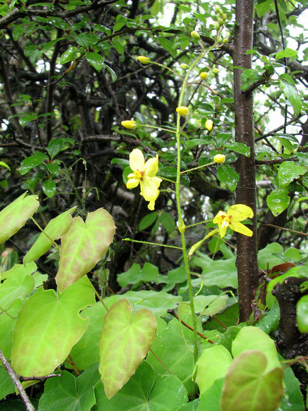 Epimedium pinnatum (Iran,Gilan, Elburz mountains, above Masuleh near Fuman 2300m (4)