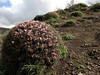 Onobrychis cornuta (Iran, Azarbayjan-e-Gharqi, mountains NE of Kalibar 1900m (14)