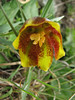 Fritillaria crassifolia ssp. kurdica (syn. F.karadagensis/F.grosheimii)(Iran, Azarbayjan-e-Gharqi, mountains near the Kalan pass 2100m, 30km N of Kalibar (15)