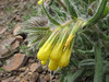 Onosma cassium (Iran, Ardabil, mountains between Khalkhal and Kivi (8)