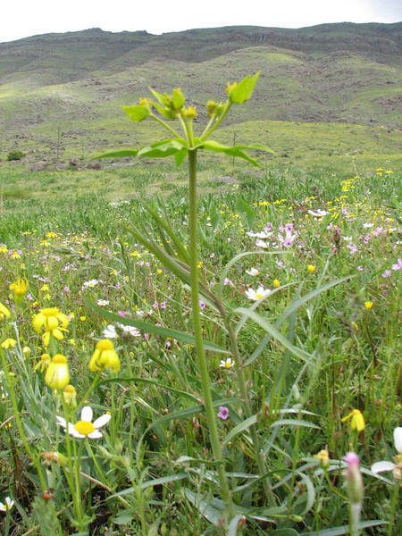 Euphorbia hausknechtii (Iran, Ardabil, mountains between Khalkhal and Kivi (8)