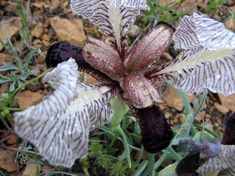 Iris paradoxa forma Choschab (Iran, Azarbayjan-e-Gharqi, mountains 5km S of Kalibar (13)
