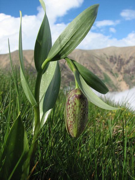 Fritillaria kotschyana ssp. grandiflora (Iran, Gilan, Elburz mountains, pass, SE of Masuleh 2200m) (6)
