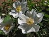 Rosa cf. pimpinellifolia (Iran, Azarbayjan-e-Gharqi, mountains near the border Iran-Nakhjavan near Siyah Rud 760m (17)
