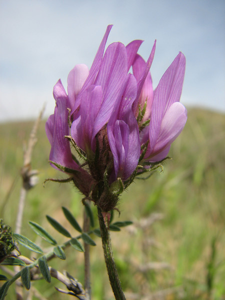 Astragalus cf. lydius  (Iran, Azarbayjan-e-Gharbi, 13 km SW of Naqadeh 1600m)(24)
