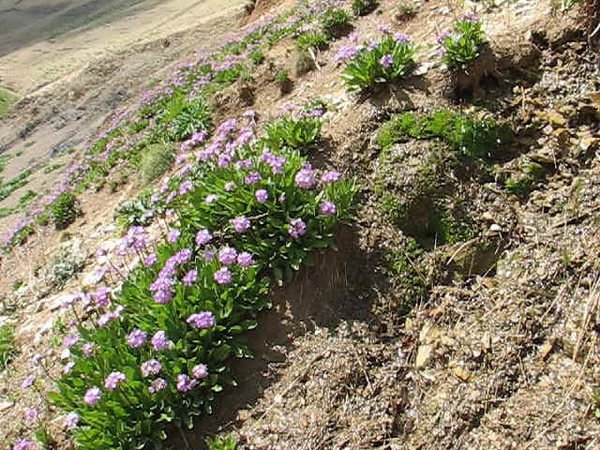 habitat with Primula auriculata Iran, Gilan, Elburz mountains, pass, SE of Masuleh 2200m (6)