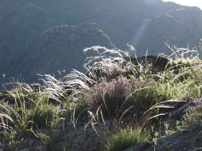 Stipa cf. arabica (Iran, Azarbayjan-e-Gharqi, mountains NE of Mardanqayem, border Iran-Armenia (16)