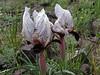 Iris paradoxa forma Choschab (Iran, Azarbayjan-e-Gharqi, mountains E of Ahar, 1400m (12)