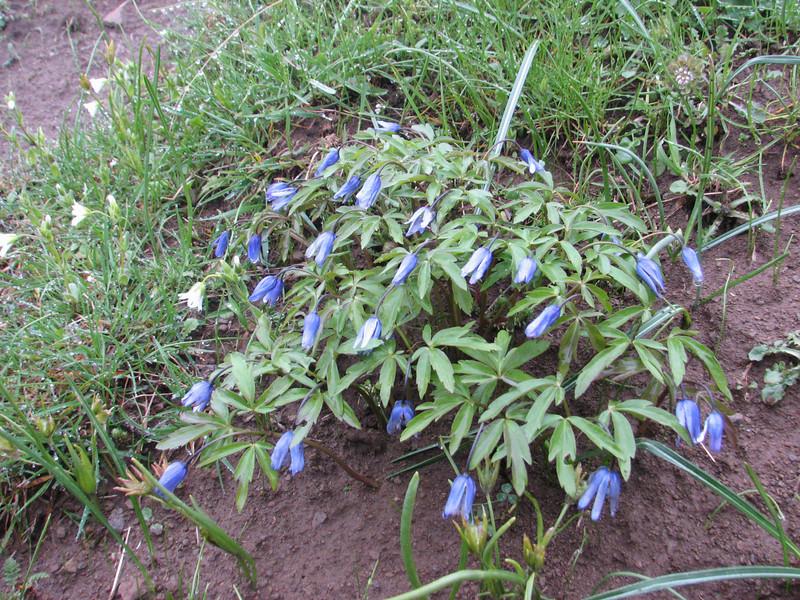 Anemone caucasica (syn. A. blanda, A. apennia)(Iran, Gilan, Tales mountains, pass, SW of Asalem 2030-2380m (7)