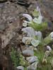Salvia microstegia ? (Iran, Tehran, Elburz mountains, Fasham pass 2800m (1)