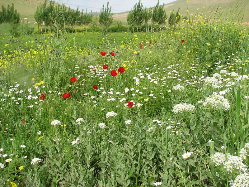Papaver spec. (Iran, Azarbayjan-e-Gharbi, 13 km SW of Naqadeh 1600m)(24)