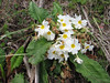 Primula vulgaris ssp. heterochroma (white coloured form)  Iran, Gilan, Elburz mountains, SE of Masuleh (5)