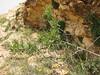 Rhamnus pallasii ssp. pallasii var. iranica (Iran, Azarbayjan-e-Gharbi, 5km SW of Shahin Dezh 1700-1800m (29)