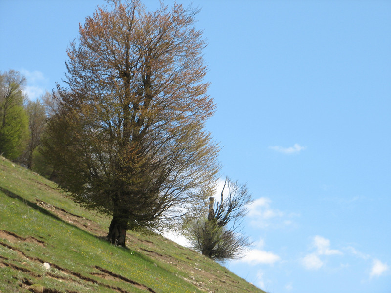 Carpinus betulus (NL: haagbeuk) Iran, Gilan, Elburz mountains, pass, SE of Masuleh 2200m (6)