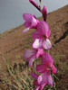 Gladiolus italicus (Iran, Zanjan, near tin-mine 3km E of Dandi (34)